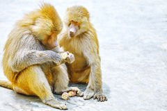 Hamadryas Baboon monkey. Hamadryas Baboon Monkey in its natural habitat of the wild royalty free stock image