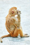Hamadryas Baboon monkey. Hamadryas Baboon Monkey in its natural habitat of the wild royalty free stock photos