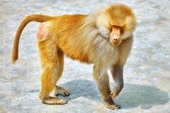 Hamadryas Baboon monkey. Royalty Free Stock Photo