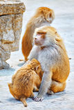 Hamadryas Baboon monkey. Hamadryas Baboon Monkey in its natural habitat of the wild stock photo