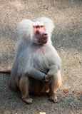 Hamadryas baboon monkey Royalty Free Stock Photo