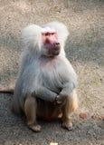 Hamadryas baboon monkey. Male hamadryas baboon monkey sitting full-length closeup view royalty free stock photo