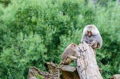 Hamadryas baboon and monkey. Sitting on the tree trunk royalty free stock photo