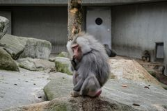 Hamadryas baboon monkey. In the zoo royalty free stock photos