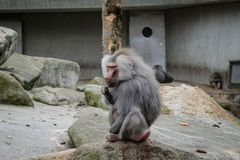 Hamadryas baboon monkey stock photography
