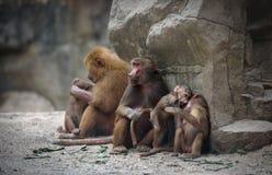 Hamadryas baboon monkeys Royalty Free Stock Images