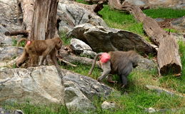 Hamadryas Baboon. Native to Africa and the Arabian peninsula, Hamadryas baboons are omnivores. They are also known as sacred baboons because they were a sacred stock images