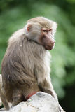 Hamadryas Baboon (Papio hamadryas) Royalty Free Stock Photography
