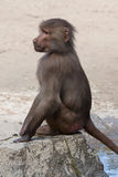 Hamadryas baboon (Papio hamadryas). Baby monkey. Wildlife animal royalty free stock images