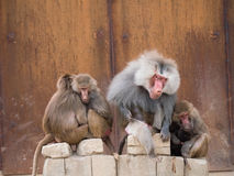 Hamadryas baboon or papio hamadryas family. Family of hamadryas baboons with alpha male sitting in the middle stock photos