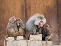 Hamadryas baboon or papio hamadryas family. Family of hamadryas baboons with alpha male sitting in the middle royalty free stock image