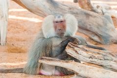 Hamadryas baboon (Papio hamadryas). Hamadryas baboon (Papio hamadryas) is very observant with a scary stare Royalty Free Stock Images