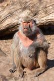 Hamadryas baboon ( Papio hamadryas ) Stock Photos