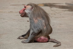 Hamadryas baboon (Papio hamadryas). Old male monkey. Wildlife animal stock photography