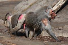 Hamadryas baboon (Papio hamadryas). Royalty Free Stock Image