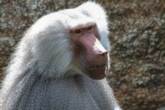 The hamadryas baboon, Papio hamadryas is a species of baboon stock photo