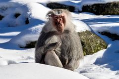 The hamadryas baboon, Papio hamadryas is a species of baboon royalty free stock image
