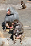 Hamadryas baboon (Papio hamadryas). Stock Photos