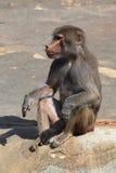 Hamadryas baboon (Papio hamadryas). Royalty Free Stock Photo