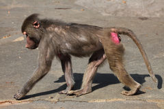 Hamadryas baboon (Papio hamadryas). Royalty Free Stock Photography