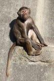 Hamadryas baboon (Papio hamadryas). Royalty Free Stock Photos