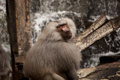 Hamadryas baboon Royalty Free Stock Photos