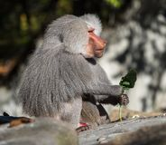 The hamadryas baboon, Papio hamadryas is a species of baboon royalty free stock photo