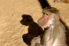 Hamadryas Baboon Pavian. Close-up of Old World hamadryas baboon pavian monkey royalty free stock photography