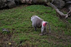 Hamadryas baboon with pink back in Auckland zoo stock photography