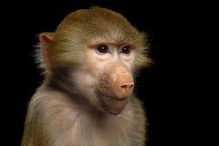 Hamadryas baboon. Portrait of Adorable face of Monkey Isolated on Black Background stock photos