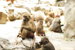 Hamadryas baboon sitting on the ground royalty free stock photo