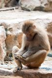 Hamadryas baboon sitting looking at its foot. In a zoo in Singapore stock images