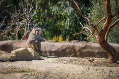 Hamadryas Baboon sitting on a rock Royalty Free Stock Photos