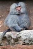 Hamadryas Baboon sitting on rocks Royalty Free Stock Photo