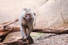 The Hamadryas baboon. A species of baboon from the Old World monkey family royalty free stock photo
