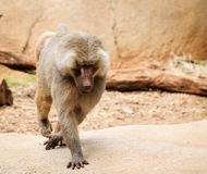 The hamadryas baboon. A species of baboon from the Old World monkey family stock images