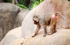 The hamadryas baboon. A species of baboon from the Old World monkey family royalty free stock image