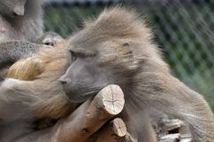 Hamadryas baboon. The hamadryas baboon is a species of baboon from the Old World monkey family. It is the northernmost of all the baboons, being native to the stock photos