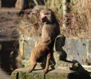 Hamadryas baboon on statue Stock Photography