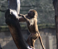 Hamadryas baboon in tree Stock Images
