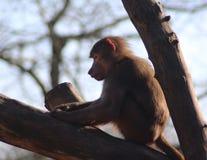 Hamadryas baboon in tree Stock Photos
