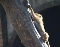 Hamadryas baboon in tree Royalty Free Stock Image