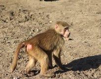 Hamadryas baboon. Walking. Foto taken in Amersfoort zoo in the Netherlands royalty free stock image