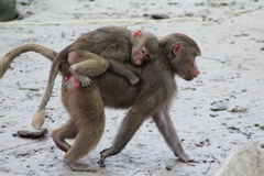Hamadryas baboon with young on back Stock Images
