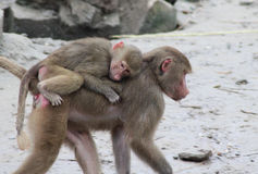 Hamadryas baboon with young on back Royalty Free Stock Photo