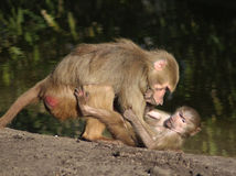 Hamadryas baboon with young Royalty Free Stock Images