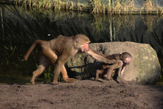Hamadryas baboon with young Stock Images