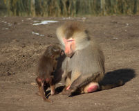 Hamadryas baboon with young Royalty Free Stock Image