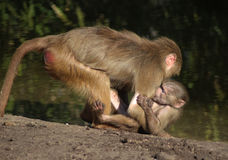 Hamadryas baboon with young Royalty Free Stock Photo