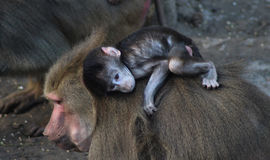 Hamadryas baboon with young Royalty Free Stock Photos